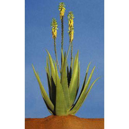 Растение Алоэ Вера.