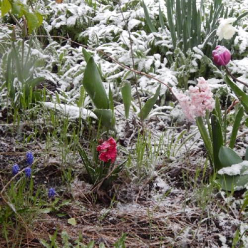 Цветы в снегу в Одесской области в апреле.