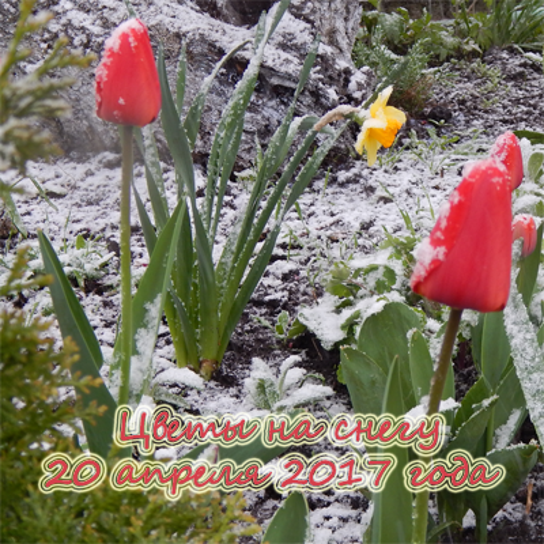 Видео Цветы на снегу.