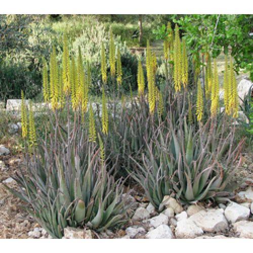 Алоэ Вера - чудо ботанического королевства.