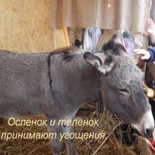 Осленок и теленок принимают угощения.